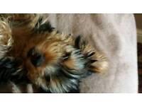 4 boys Yorkshire terrier puppys