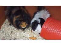 Guinea pig hutch and x2 male guinea pigs
