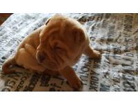 Kc Registered Brushcoat Shar Pei Pups