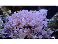 Pulsing/PomPom Xenia Marine / Saltwater Aquarium Soft Coral