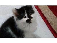 Very beautiful fluffy female kitten for sale