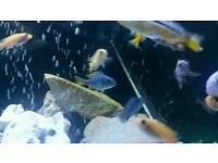 20/22 mix Malawi tropical fish