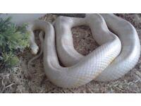 Corn snake (snow)
