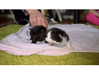 Beautiful kittens white and black half Persian