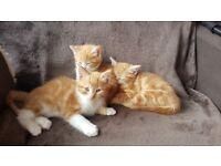 Cute ginger kittens for sale!