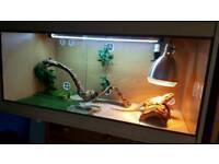 Bearded dragon with vivarium Full setup