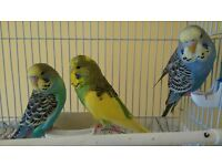 Baby budgies are looking for new home! (1 left !)