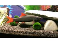 FREE to good home. Adult Rainbow Shark approx 5 inches.