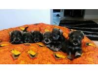 miniature schnauzer puppys