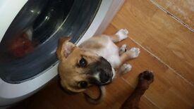 husky/boxer puppy one female left