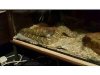 Florida king snake Adult Female For Sale