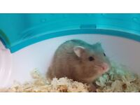 Winter white sapphire Male Dwarf Hamster for Sale with cage 6 months old