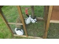 Pure English rabbits