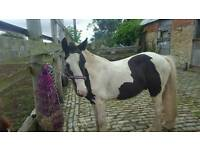 3 year old gelding for forever home