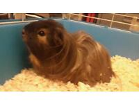 Two happy mail guinea pigs with extra large cage looking for home