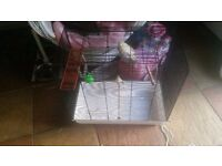 Pair of cockateils + large cage