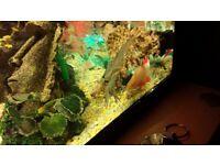 Crayfish blue babys
