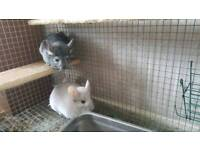 Beautiful male and female chinchillas with cage