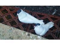 Afghani pigeons