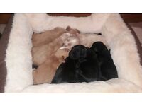 COCKER SPANIEL PUPPIES - KC REGISTERED - FULLY HEALTH TESTED PARENTS