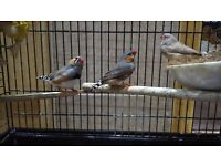 3 Zebra Finches with Cage