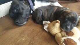 Beautiful Staffordshire Bull puppies available. Two boys and two girls.