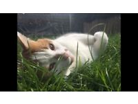 Our beautiful Koko needs a new homes hes a beautiful 8 year old ginger and white cat