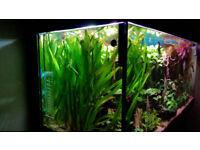 Aquarium fish tank -Vallisneria Gigantea -live plant