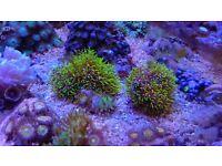 Marine aquarium coral frag green star polyps