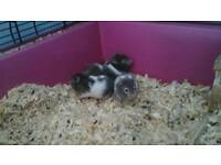 Syrian Hamsters ready for new homes £6each