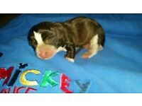 Full bread iris jack Russell puppy's for sale