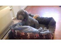 Beautiful weimaraner puppy girl