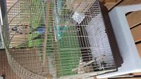 Male budgie with cage