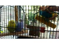 Two Budgies For Sale With Full Set Up