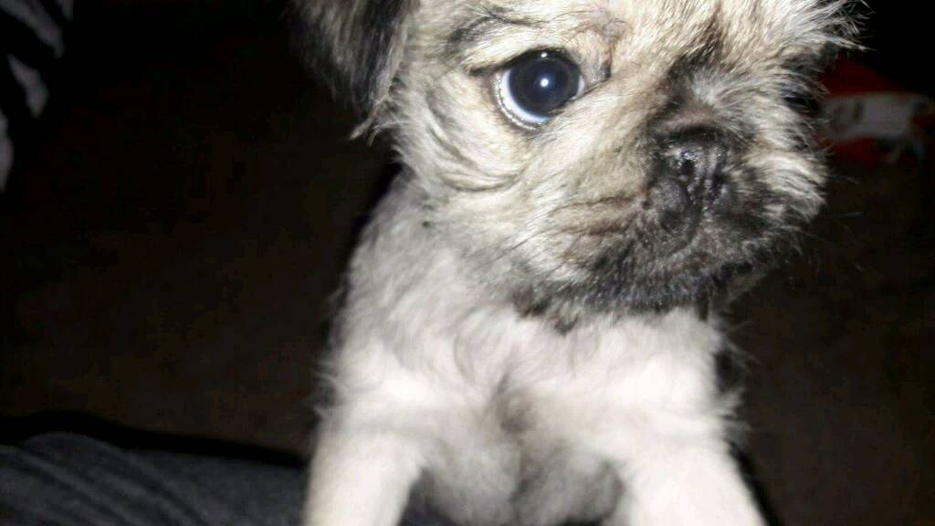 Pug Cross Shih Tzus Puppies For Sale In Gateshead Tyne And Wear