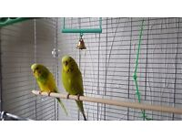 Male and Female budgeis with Tall Vision Cage