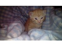 Stunning Ginger and Blue Grey Male and Female Kittens