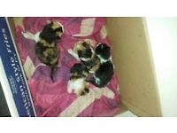 4 kittens ready 20th april 80 pound 20 pound deposit must be to loving for ever home please