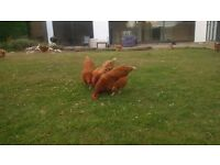 8 point of lay Chickens Rhode Island cross Light Sussex Hens