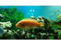 Orange Malawi Cichlids