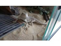 Bearded Dragon 18 month old with viv and ornaments included looking for a quick sale
