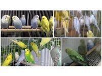 Top Budgies And Brand New Cages