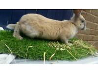 Giant continental rabbits