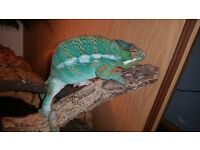Chameleon blue barred ambilope