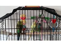 Budgies gor Sale with Cage and accessories...