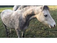 Grey Welsh Section A Filly