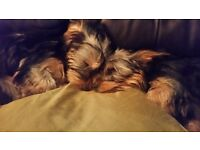 2 x Yorkshire Terrier pups for sale