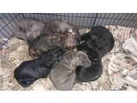 Staffy x mastiff pups
