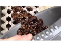 Hundreds of dubia roaches with starter mif