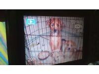 Jackawawa/LhasaApso puppies.